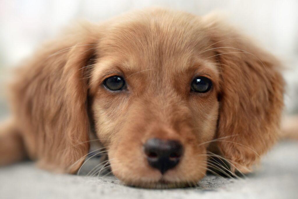 Köpeklerde Renk Körlüğü Var Mı?