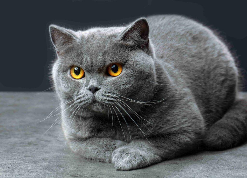 Colorpoint Shorthair Kedi Cinsi Bakımı ve Özellikleri
