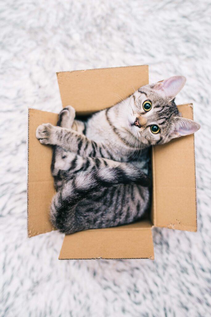 Kedilerde Karton Kutu Sevgisi