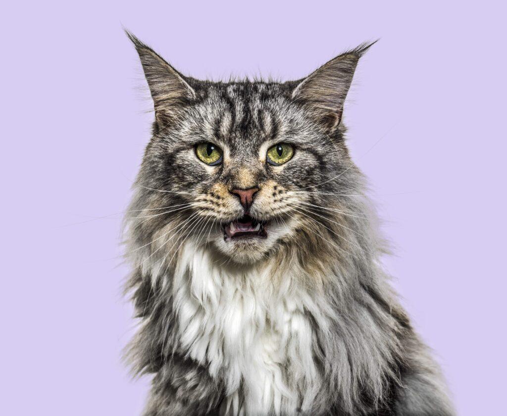 Kedilerde Aşırı Miyavlama Nedenleri