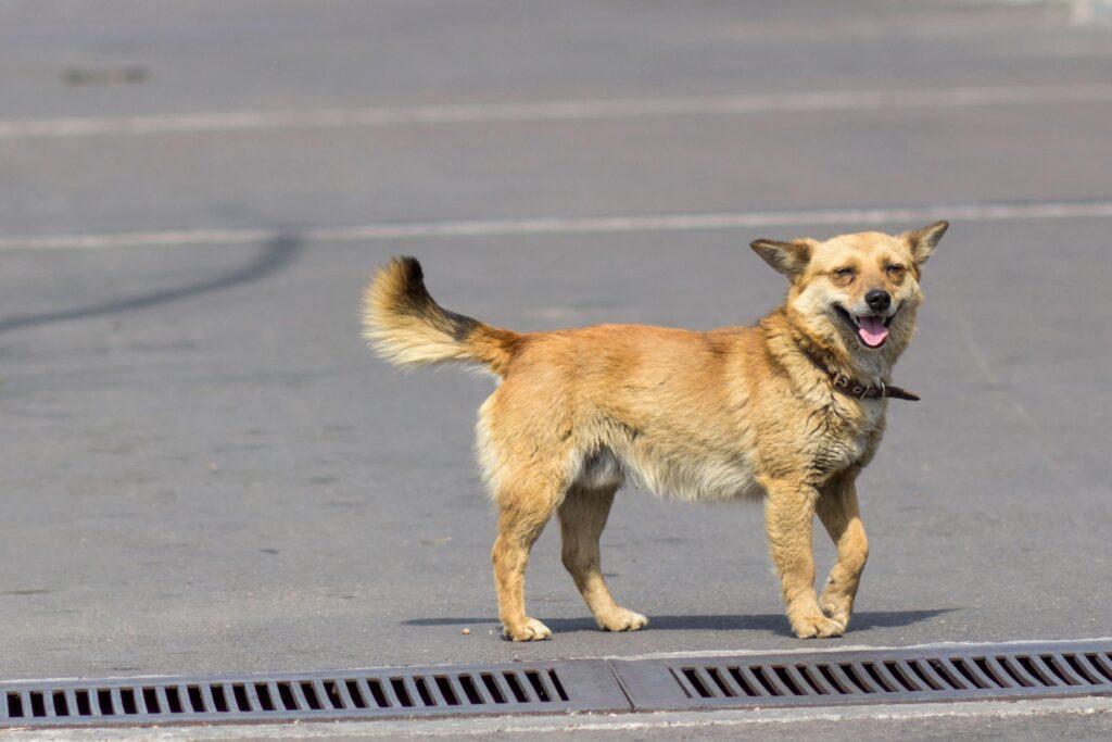 Köpeklerde Kuyruk Hareketleri