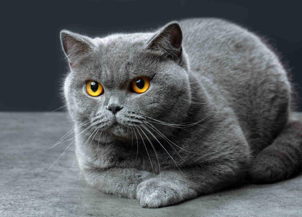 British Shorthair Kedi Irkı Kökeni ve Genel Özellikleri