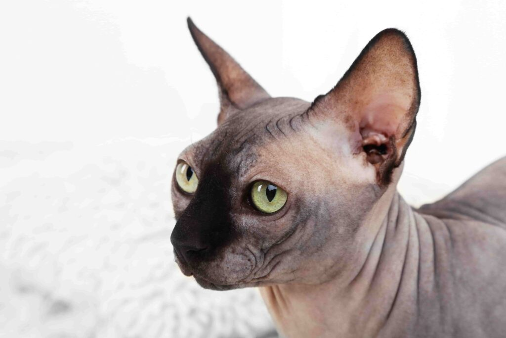 Tüy Dökmeyen Kedi Irkları Hangileri? Tüysüz 5 Kedi Irkı Hakkında Bilgiler