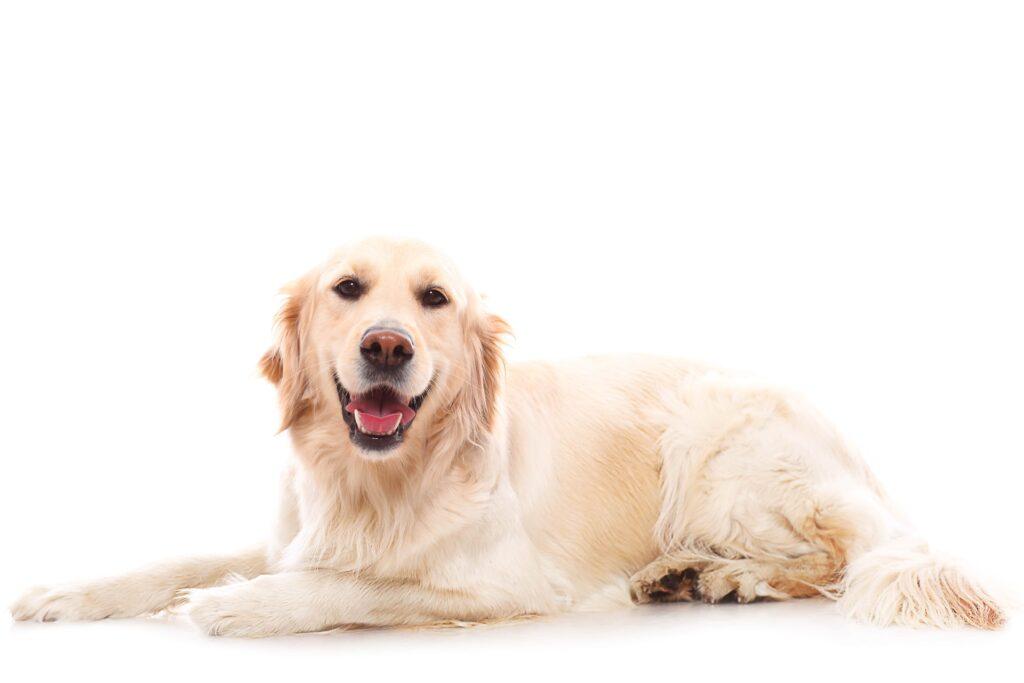 En Zeki Köpek Cinsleri Hangileri?