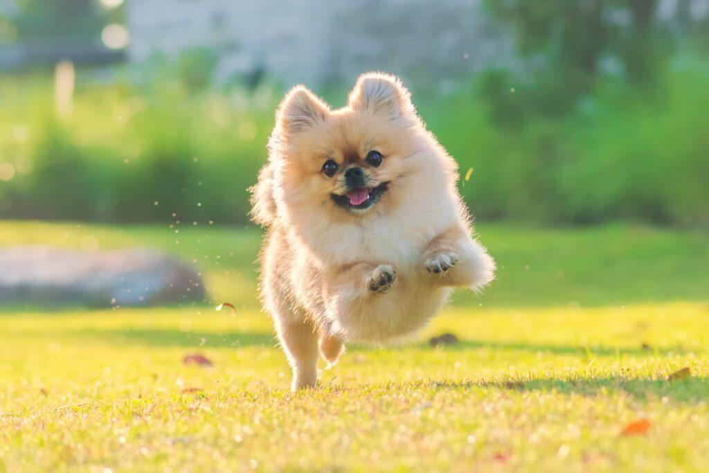 Köpeklerde Mutluluk Belirtileri Nelerdir?
