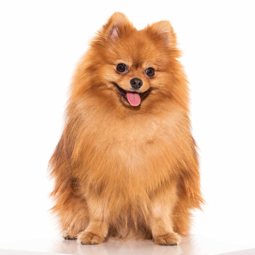 Küçük Irk Köpeklerde Beslenme, Bakım ve Sağlık